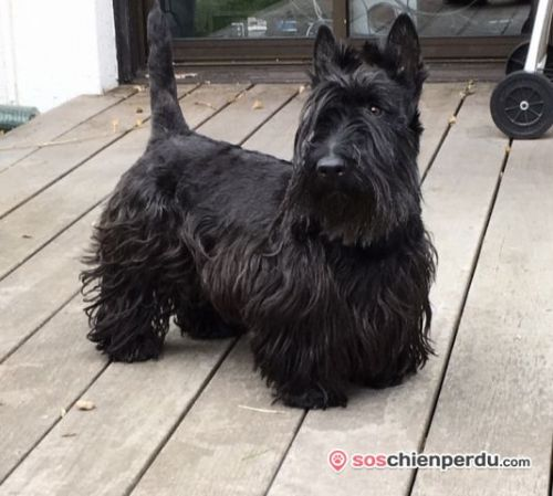 Chien de race Scottish Terrier perdu à Pessac | Dpt. 33