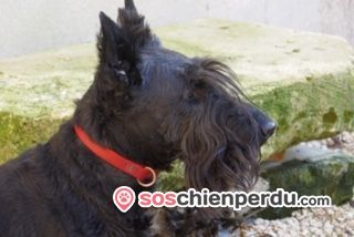 Chien de race Scottish Terrier perdu à Crépy-en-Valois | Dpt. 60