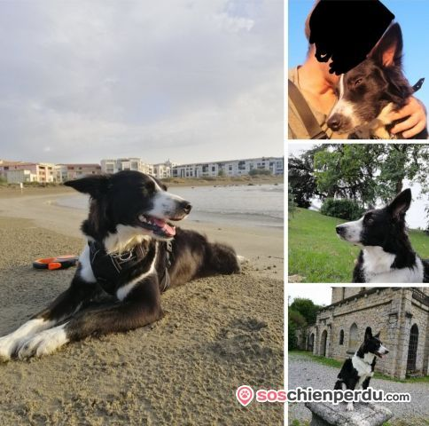 Chien de race Border Collie perdu à Margencel | Dpt. 74