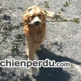 Chien de race Golden Retriever perdu à Arbresle | Dpt. 69